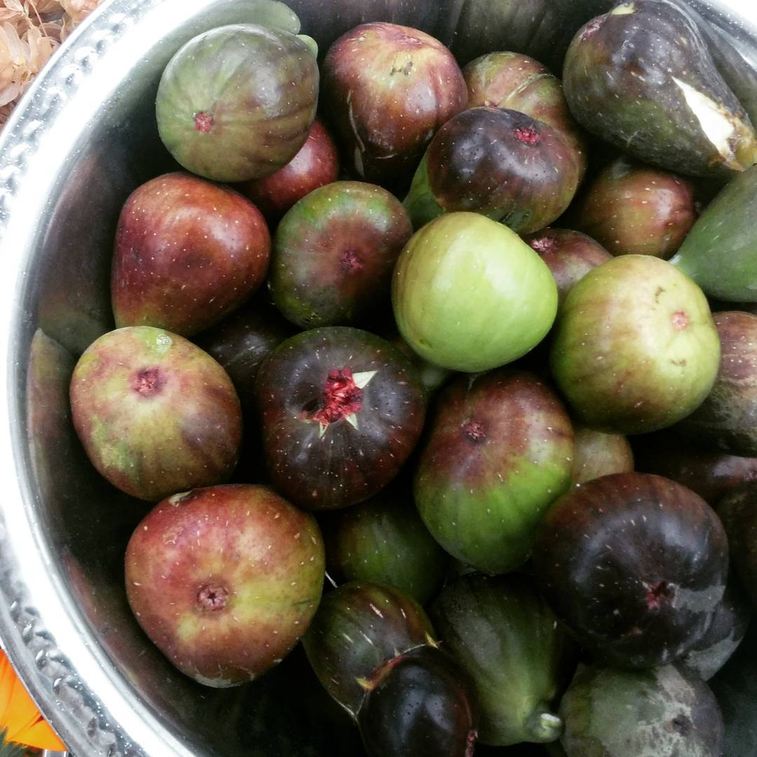 November 1st forest garden fig harvest in the DemoTuinNoord food forest in Amsterdam Noord. We feel blessed to keep harvesting do late in the season. #Urbaniahoeve #urbanagriculture #foodforest #forestgarden #demogarden #DemoGarden #Amsterdam #climatecrisis #urbanfoodshed #carbonsequestration #watersequestration #garden #figs